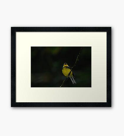 Collared Redstart (Myioborus torquatus) - Costa Rica Framed Print