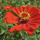 Zingy Zinnia by Monnie Ryan