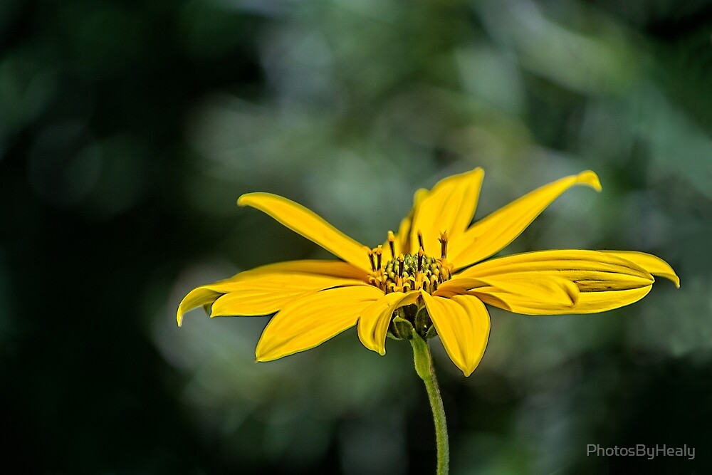 Jerusalem artichoke by PhotosByHealy