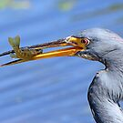 Tricolored heron with catch by Anthony Goldman