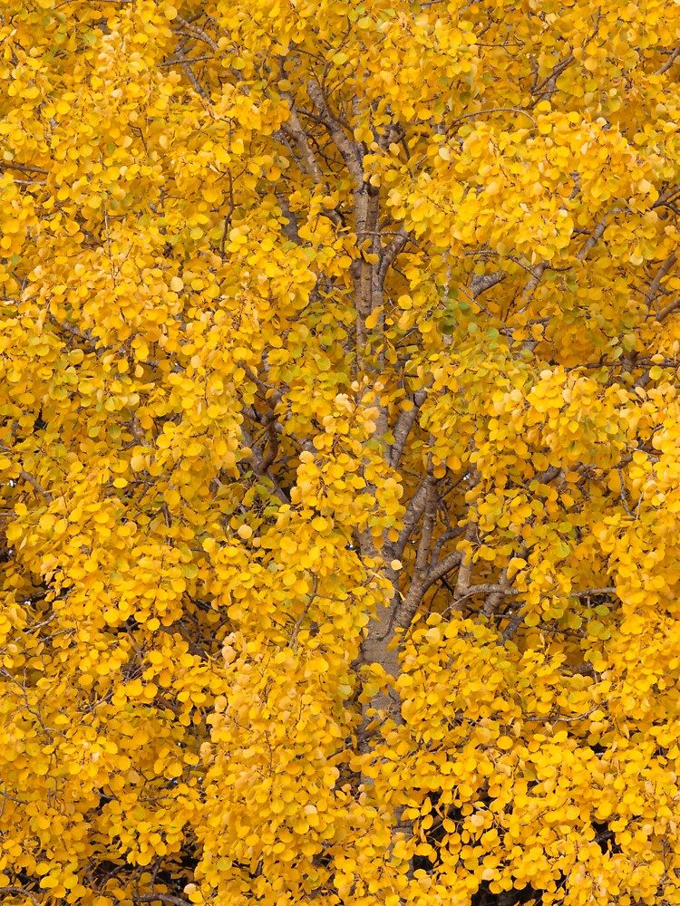 Aspen tree foliage in autumn colors by Juhku