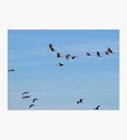 Sandhill Cranes ~ Migratory  Photographic Print