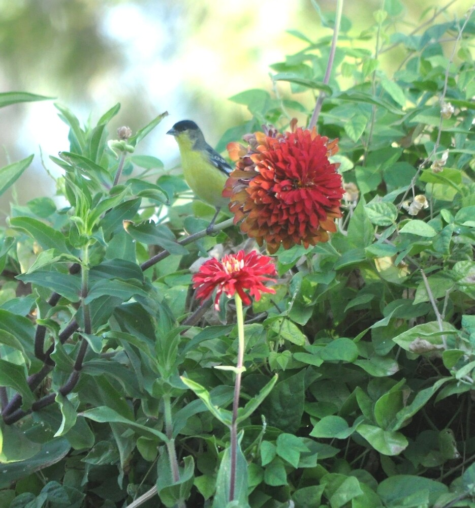 GOLD FINCH AND THE ZINNIA by JAYMILO