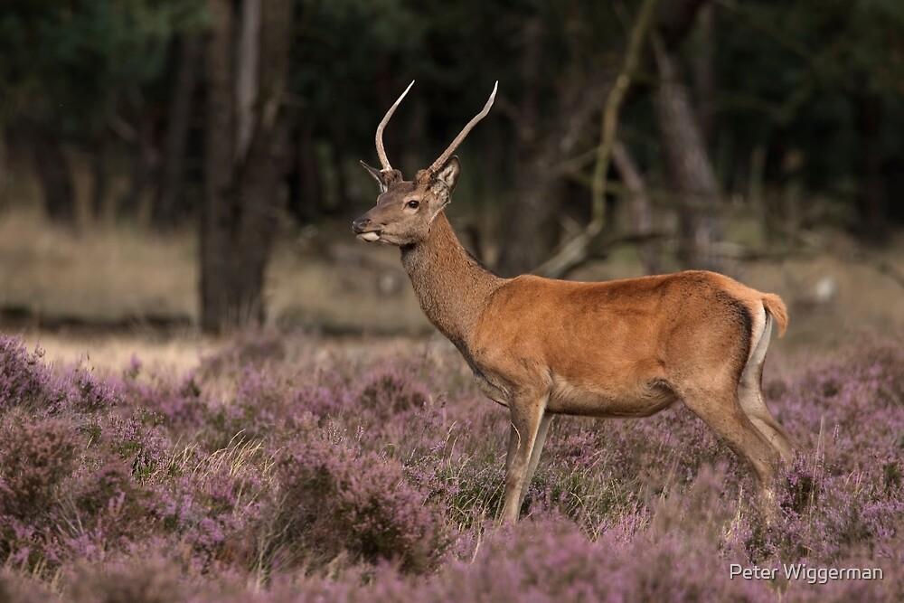 Red deer by Peter Wiggerman