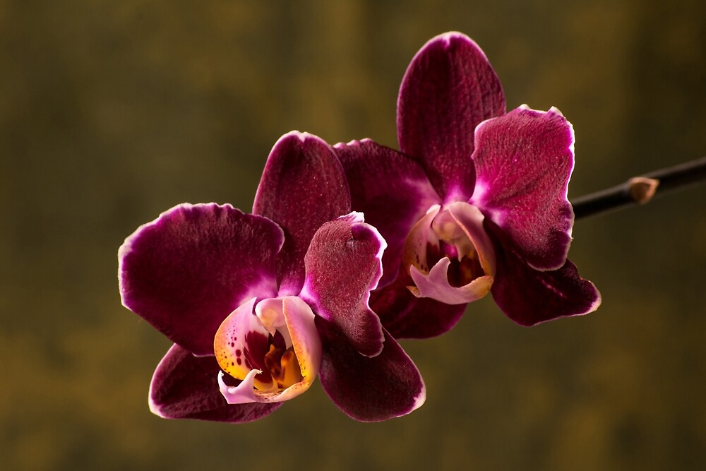 Two orchids by vancer