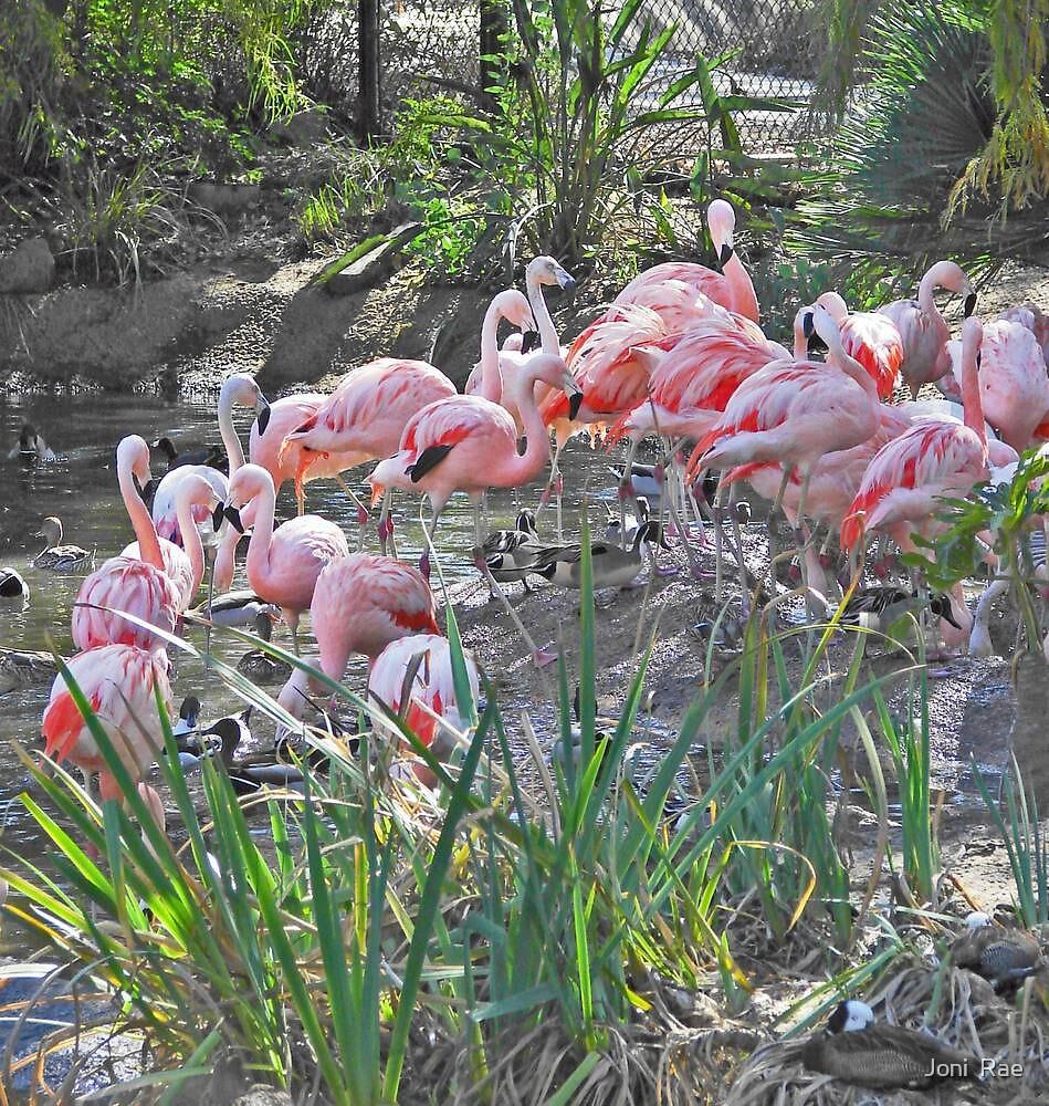 Flashy Flamingo's by Joni  Rae