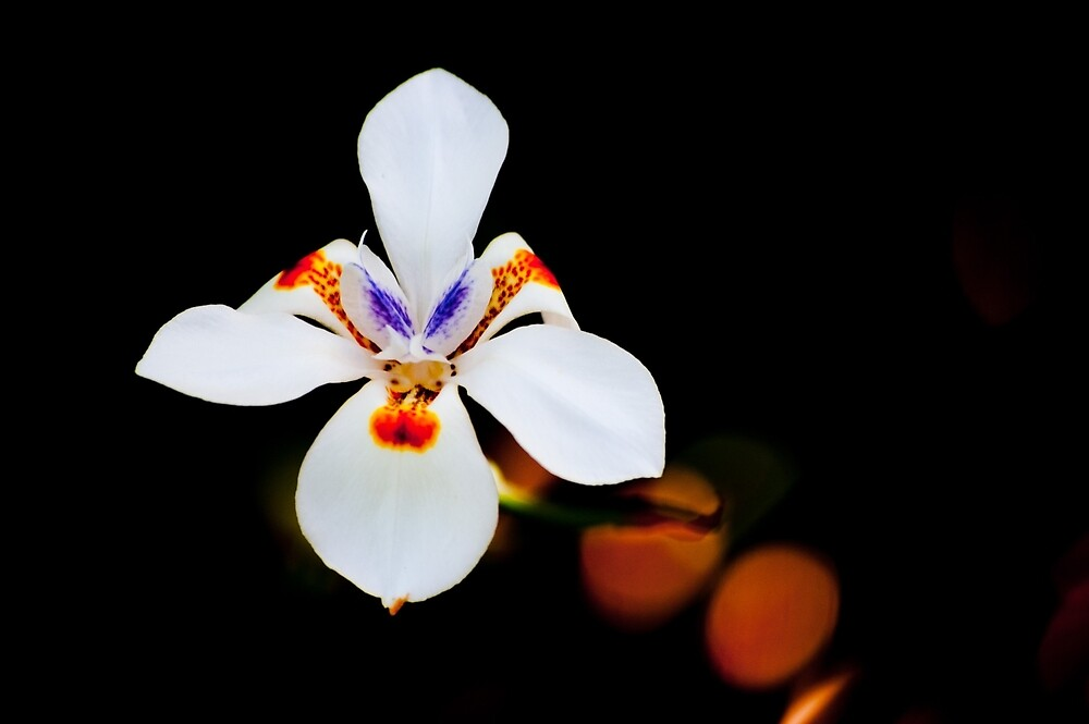 White orchid by vancer