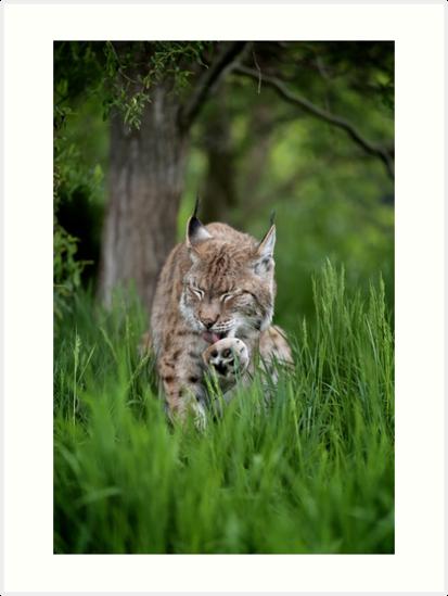Grooming Lynx by Gary Brookshaw