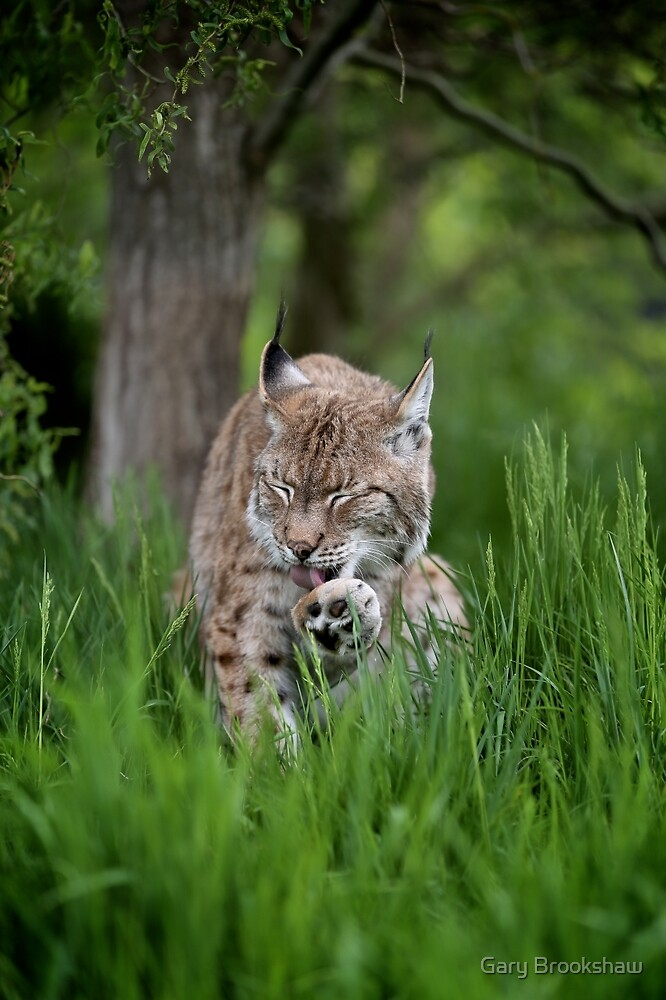 Grooming Lynx by Gary Brookshaw