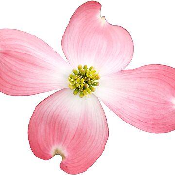 Pink Dogwood by ilzesgimene