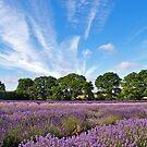 Lavender Fields near Selborne, Hampshire by Alex Cassels