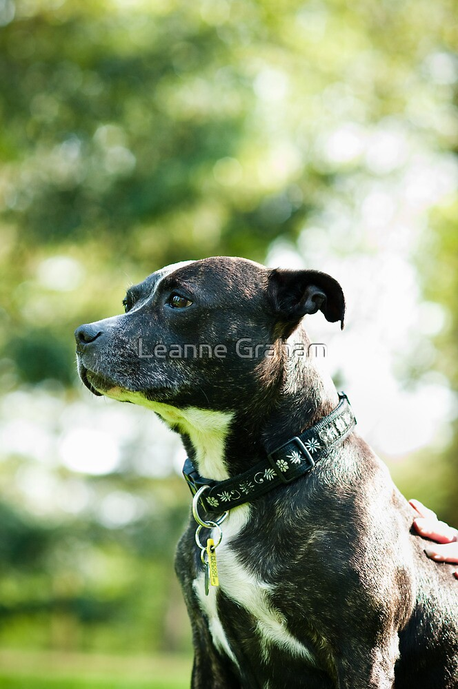 Staffie Love by Leanne Graham