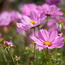 Pink Cosmos by Ellesscee