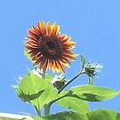 Where Sunflowers Grow As Tall As a House by Cara Schingeck