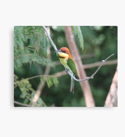 Chestnut-headed Bee-eater Canvas Print