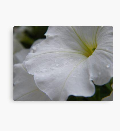 Dew on white flowers Canvas Print