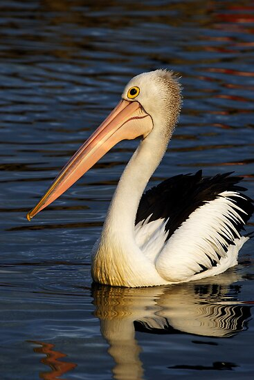 Pelican at Eden by Darren Stones
