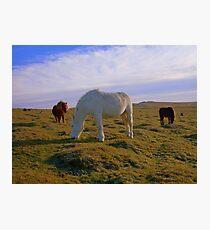 Dartmoor: Ponies on White Tor. Photographic Print