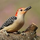 RED BELLY WOODPECKER by Gregg Williams