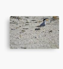 Mama and Baby Tern, As Is Canvas Print