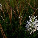 White fringed orchids (Platanthera blephariglottis v. conspicua) by Michael L Dye