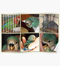 Birdie, Ralphie, and Tuffie Lovebird Poster