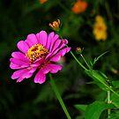 Pink Zinnia Flower by Jason Pepe