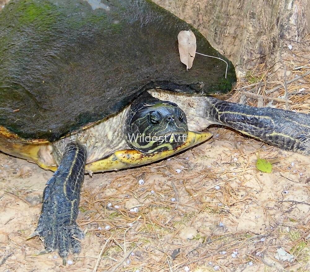 Mrs Turtle by WildestArt