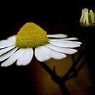 chamomile flower by Clare Colins