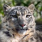 Snow Leopard by Andy Coleman