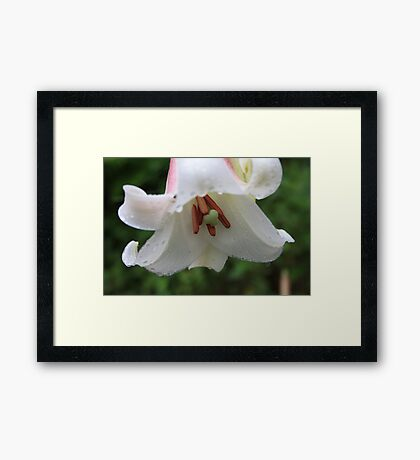 Stamen of a Wild Lily Framed Print