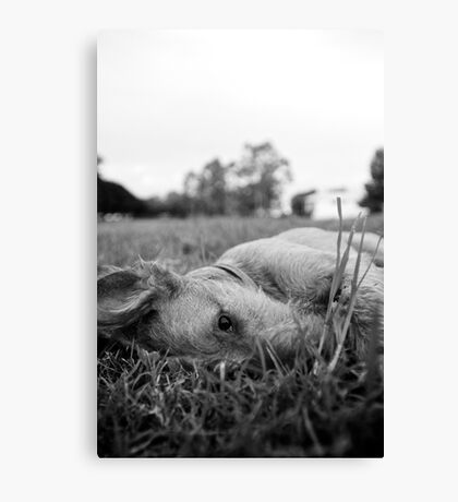 A roll in the hay Canvas Print