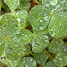 Dew On The Clover by Amy Dee