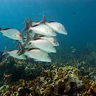 Margate Fish, Nassau, Bahamas by Shane Pinder