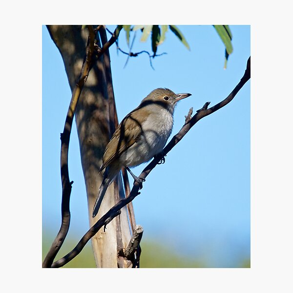 Grey Shrikethrush by David Irwin Photographic Print
