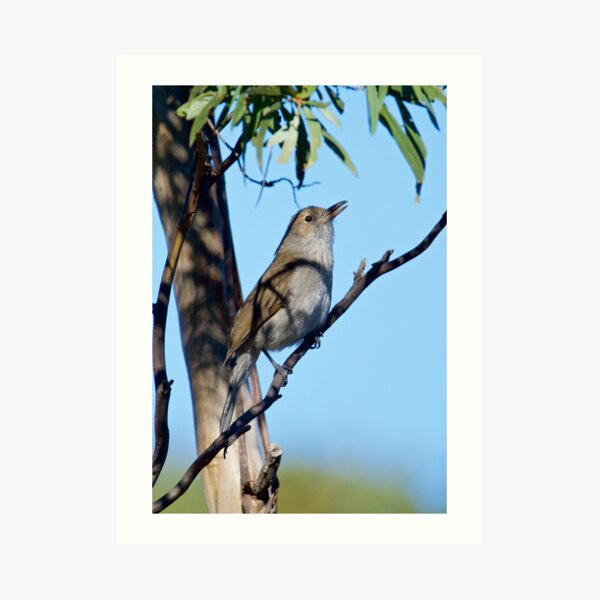 Grey Shrikethrush by David Irwin Art Print
