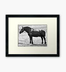 Percheron Stud Framed Print