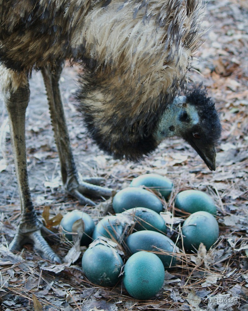 Emu Admiring Her Newly Layed Eggs by Paulette1021