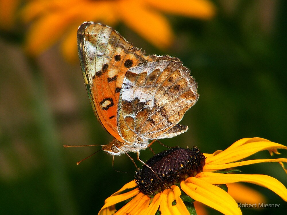 Variegated Fritillary Feeding on Black-eyed Susan by Robert Miesner