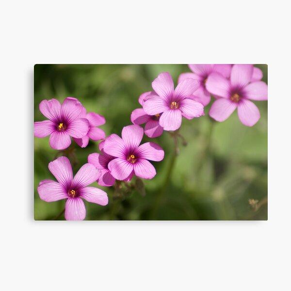 Pink Clover Flowers Metal Print