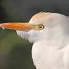 Cattle egret up close by Anthony Goldman