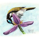Blue Faced Honeyeater by Meaghan Roberts