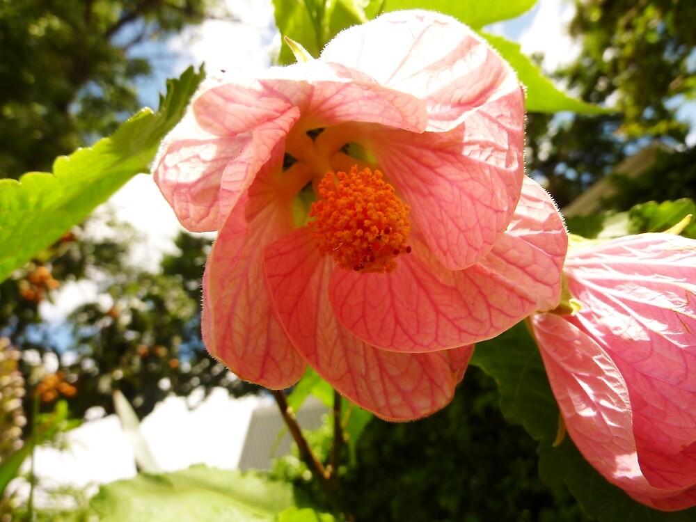 "japanese lantern plant"" by rainbowwomantas  redbubble, Beautiful flower"