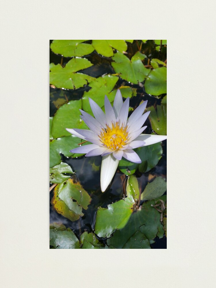 Alternate view of The lotus flower Photographic Print