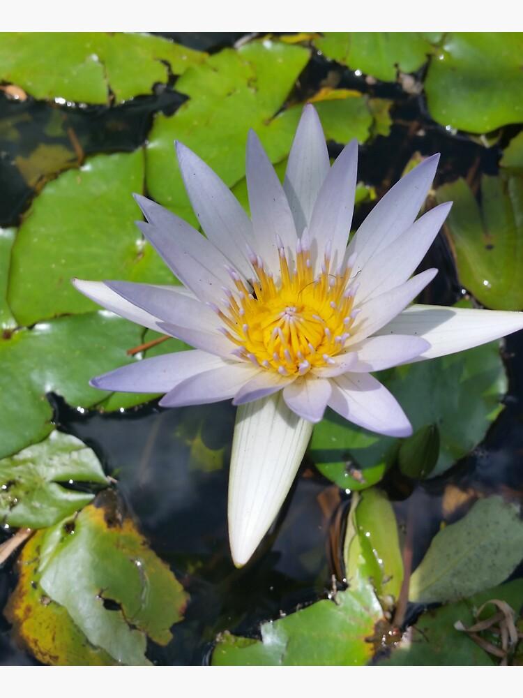 The lotus flower by bsteveb