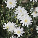 Desert Chicory Coachella Wildlife Preserve 2 by Colleen Cornelius