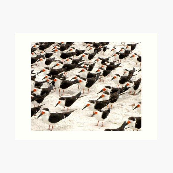 Black Skimmers in a Row Art Print
