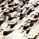 Black Skimmers in a Row by Frank Bibbins