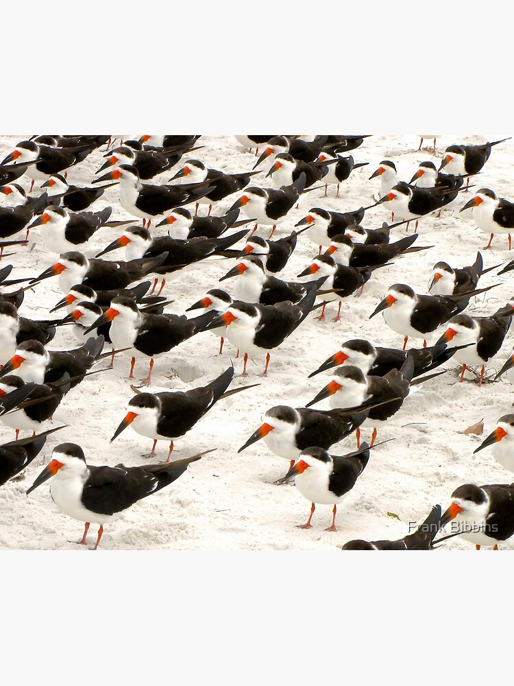 Black Skimmers in a Row by organicman2