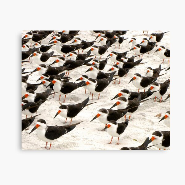 Black Skimmers in a Row Canvas Print
